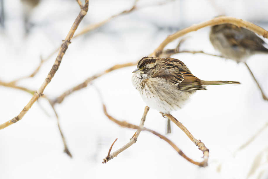 White-throated sparrow, Union Square Park, New York, 2014